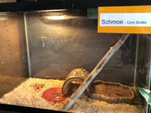 Corn Snake: Schmoe Science Nature Center Legacy Private School