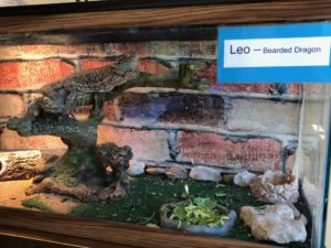 Bearded Dragons: Leo & Marge
