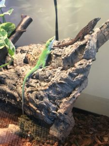 Green Anoles: Zander and Emery